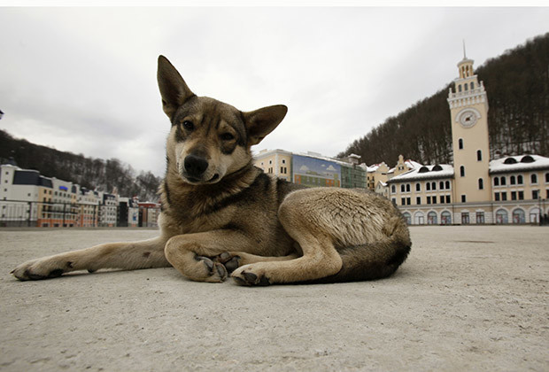 A stray dog lies at the main square of the Rosa Khutor Alpine Skiing centre in the valley of Krasnaya Polyana, some 40 km (25 miles) outside of the Black Sea city of Sochi February 14, 2012. Krasnaya Polyana is the mountain venue of the Sochi 2014 Winter Olympic Games which will host all outdoor events