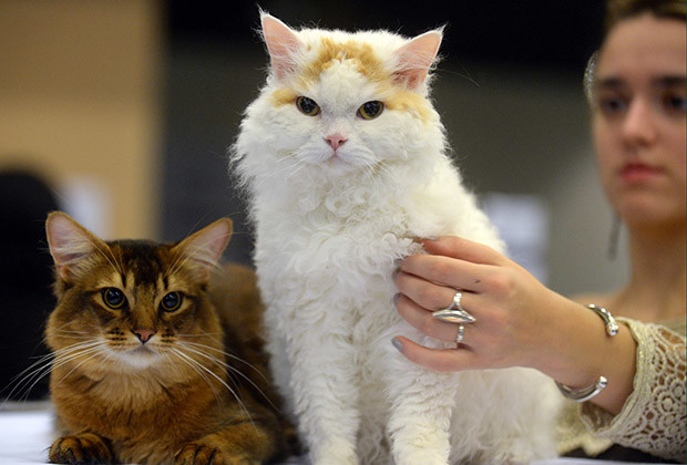 Cats are pictured on October 26, 2013 during a cat exhibition in Moscow.