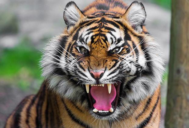 Man Eating Tigress India_01