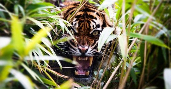 India's Terrifying Tiger-Mauling Mystery