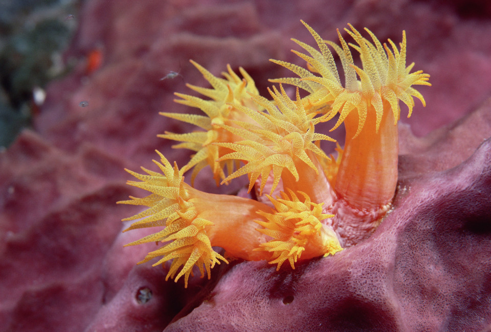 Orange Clump Coral (Tubastrea aurea) polyps extended only at night, Dutch Antilles, Caribbean