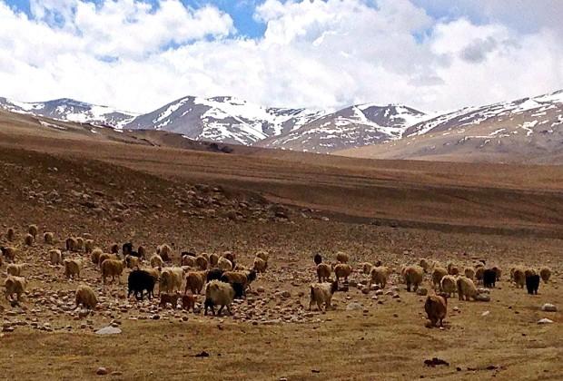 Grazing sheep at Anlay Phu