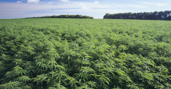 Could the U.S. Become a Hemp Powerhouse?