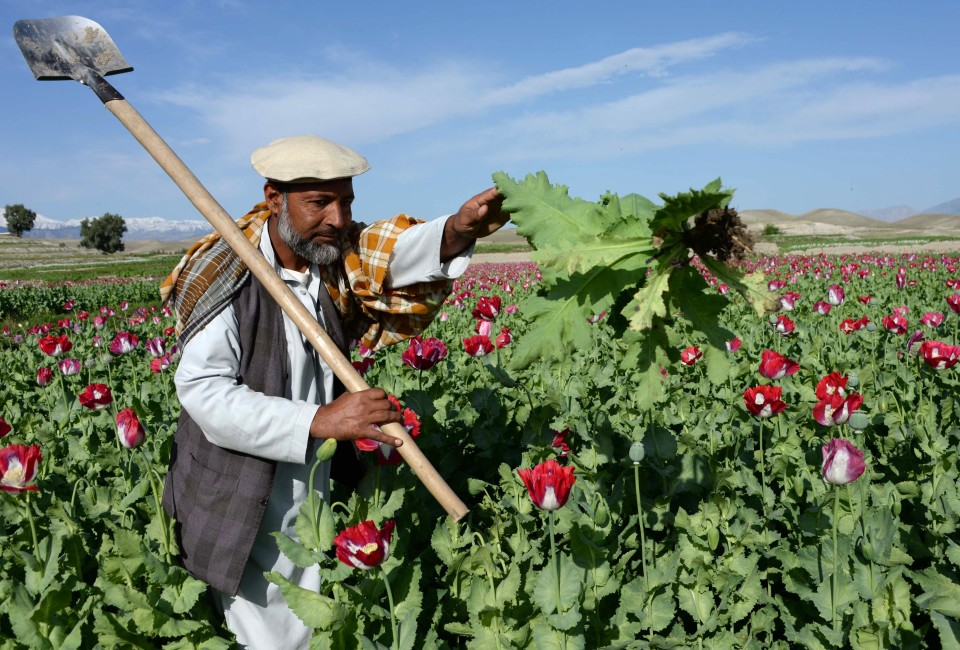 An Afghan farmer works in a poppy field on the outskirts of Jalalabad, capital of Nangarhar province on April 12, 2014.  Citing the United Nations Office of Drugs and Crime, John Sopko, the US Special Inspector General for Afghanistan Reconstruction, said January 2014 that the rise in opium production is expected to continue  and threaten the stability of the Afghan government. Indeed, he said its the highest in modern history.  AFP PHOTO / Noorullah Shirzada        (Photo credit should read Noorullah Shirzada/AFP/Getty Images)