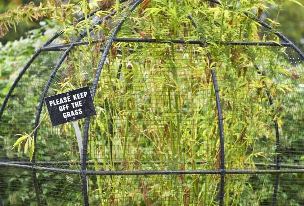 18 Oct 2013, Alnwick, Northumberland, England, UK --- Cannabis at the Poison garden at Alnwick Garden, Northumberland, England, UK. --- Image by © Duncan Andison/Corbis