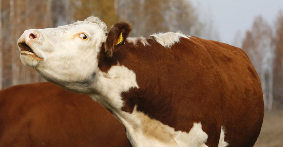 Three Cows Die After Tense 7-Hour Standoff With Police