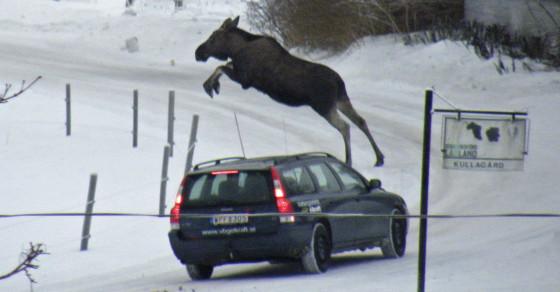 Drunk Swedish Moose Epidemic Defies Science