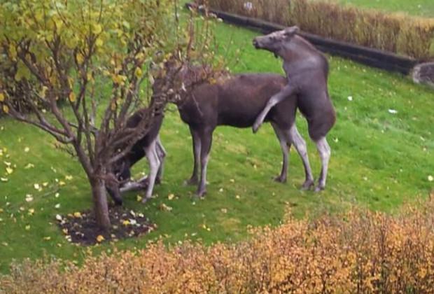 Drunk Moose 004