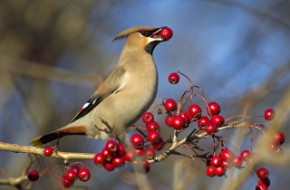 15 Nov 2011 --- Low angle view of Bohemian Waxwing bird eating berries on branch against blurred background --- Image by © Torbjˆrn Arvidson/Matton Collection/Corbis