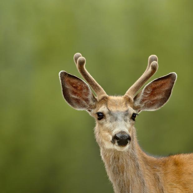 CFD9F8 Mule deer (Odocoileus hemionus) buck in velvet, Jasper National Park, Alberta, Canada,