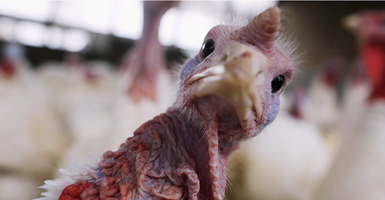 Where Do Thanksgiving Turkeys Come From?
