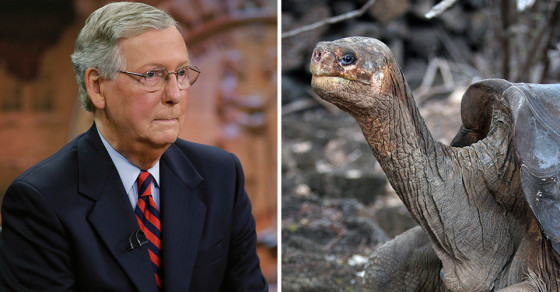 "How Will Mitch ""Dick Turtle"" McConnell Govern? Ask Wikipedia"