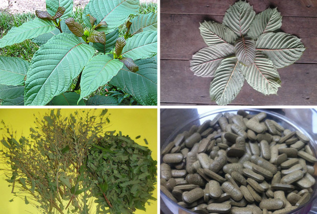 Mitragyna speciosa trees, Leaves are harvested, the leaves are separated from  from stems and spines and either dried and used as a tea, or grinder to a powder and made into pills