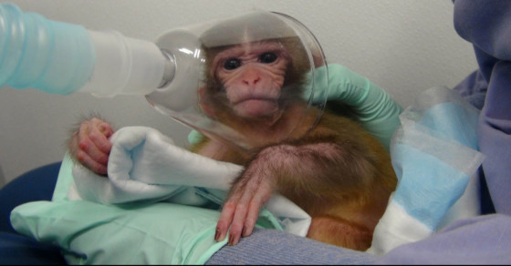 Is This Top Scientist Torturing Baby Monkeys?