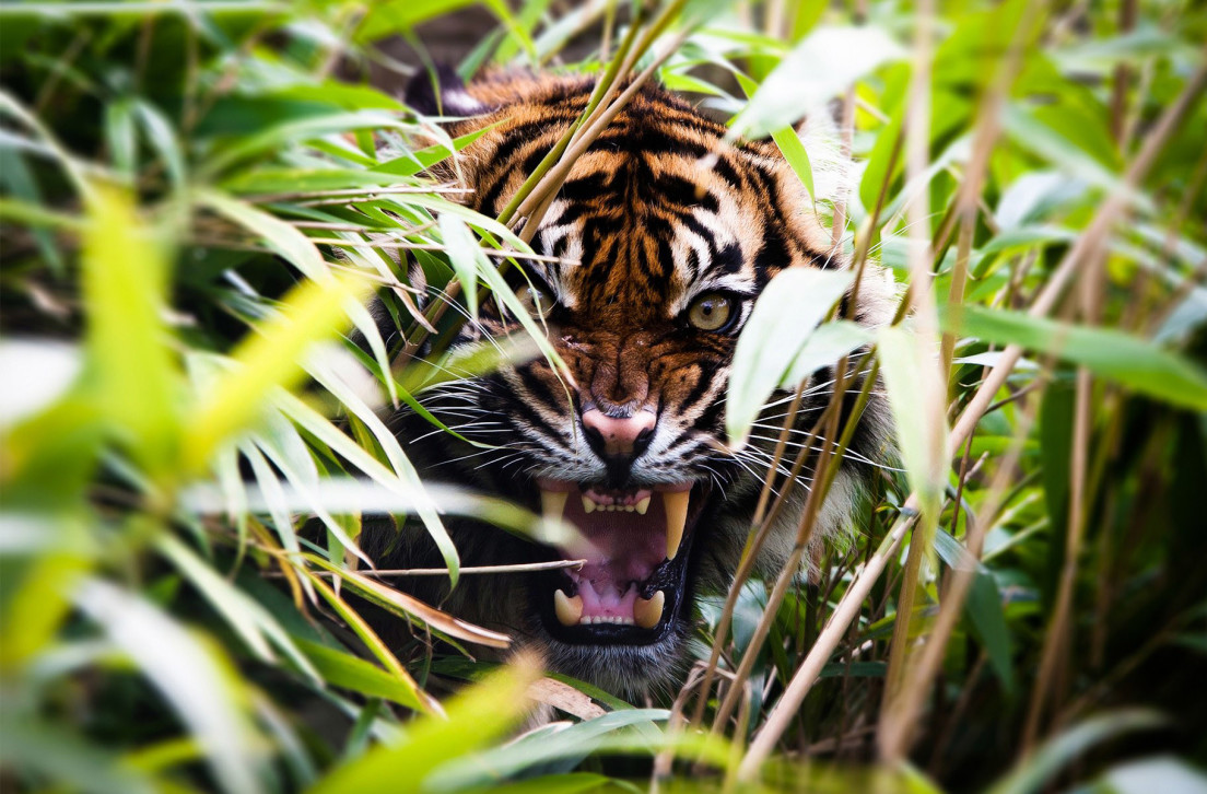 Love Animals Tigers Human Dude 1920x1080 Wallpaper Animals: India's Terrifying Tiger-Mauling Mystery