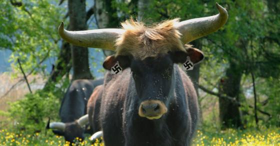 Heil Heifer! This Farmer Is Raising Killer Cows First Bred By Hitler