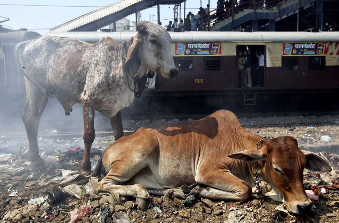 The Short Unhappy Life Of A Cow In India Vocativ