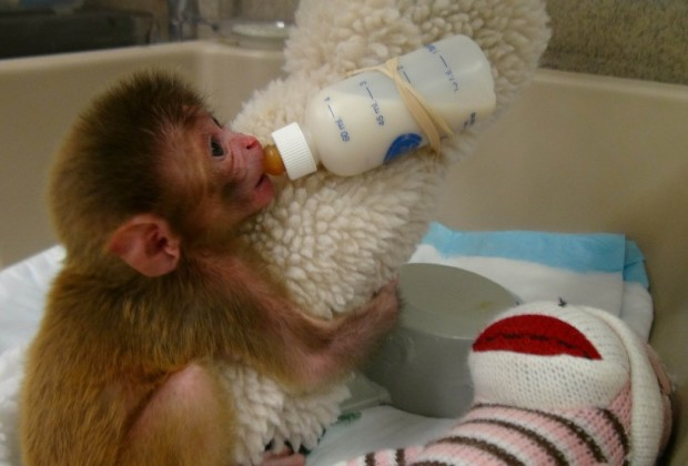 Baby Monkey with Cloth and Bottle1