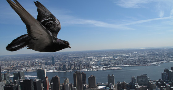 How Pigeons Dodge Skyscrapers And Taxis