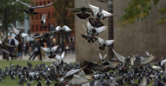 Here's How Pigeons Avoid Crashing