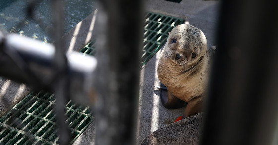 Thousands of Baby Sea Lions Are Stranded In California