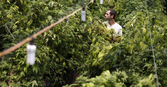 Everyone Says Pot Is More Potent Now Than 30 Years Ago…But Is It?