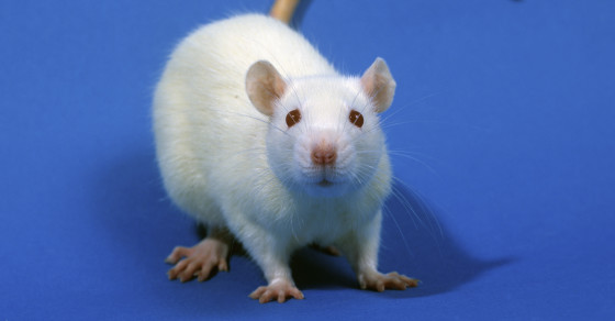 Researchers Just Turned A Rat's Brain From Female To Male