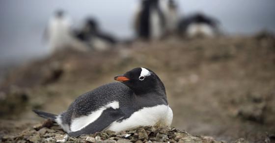 Penguins Poop To Melt Snow Faster
