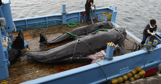 Japan Plans To Resume Killing Whales