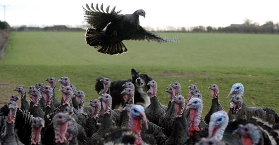 Bird 'Flu Outbreak Infects Almost A Million Turkeys