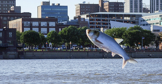 When A Gang of Asian Carp Attack A Boat Full Of Rowers