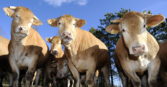 Study Finds Antibiotics In The Air Near Cattle Farms