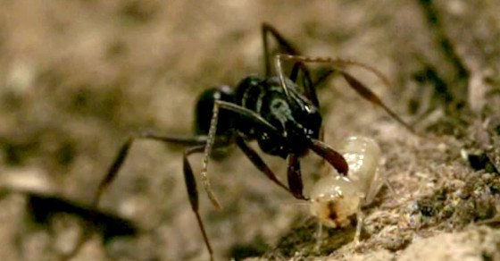 This Ant Flings Itself Away From Predators With Its Jaw