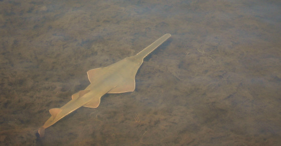 These Sawfish Are Making Babies Without Sex