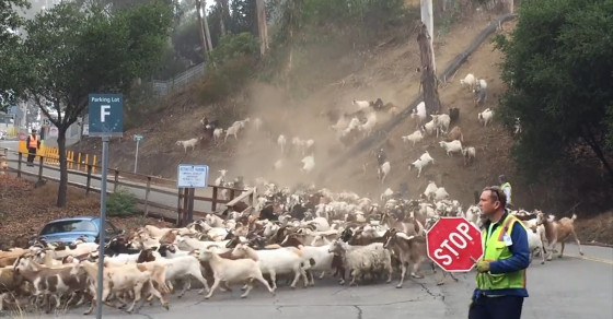 Hundreds Of Goats Descend On Berkeley Lab To Prevent Wildfires