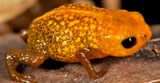 Seven New Species of Tiny Frogs Discovered