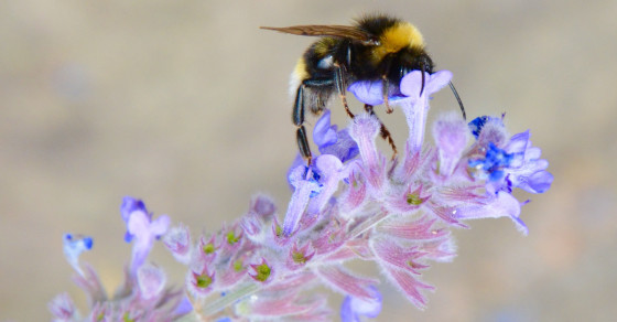Bumblebees Are Dying Out Thanks To Climate Change