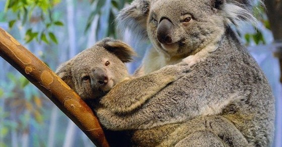 This Is Why Koalas Can't Stop Screaming At Each Other