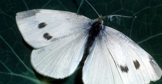 Several Butterfly Species Could Go Extinct By 2050