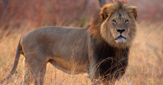 We Kill Lions 15 Times As Fast As They Kill Us