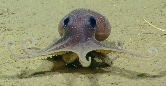 Scientists Have Sequenced The First Octopus Genome