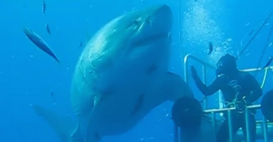 Is This The Biggest Great White Shark Caught On Camera?