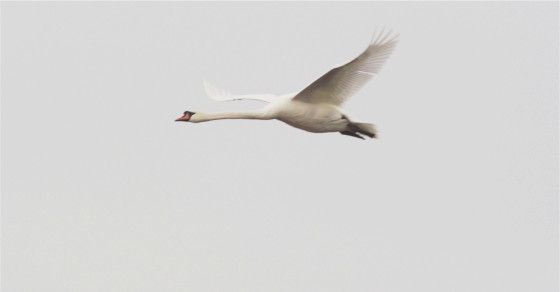 Swans Hold The Key To Better Drone Video