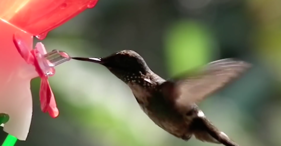 We Now Know How Hummingbirds Drink So Quickly