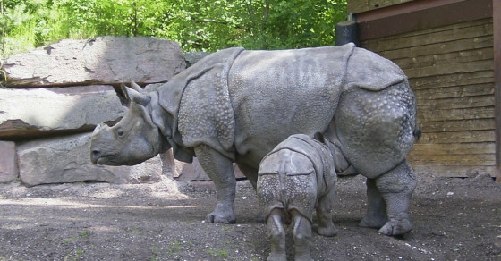 Endangered Javan Rhinos Are Still Breeding