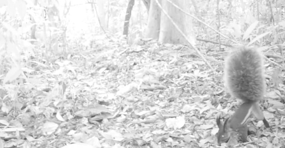 Mysterious 'Vampire Squirrel' Filmed For The First Time