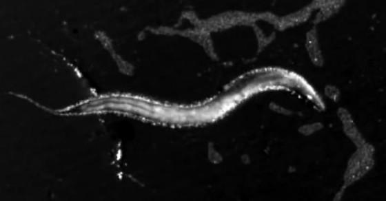 Scientists Use Jedi Mind Tricks To Control This Worm