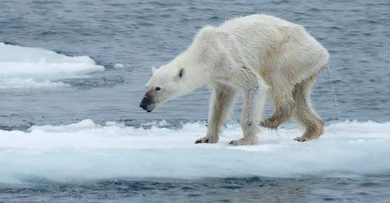 Polar Bears Aren't The Only Arctic Animals Hurt By Climate Change