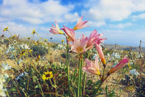 Chile's Atacama Desert Has Exploded With Flowers