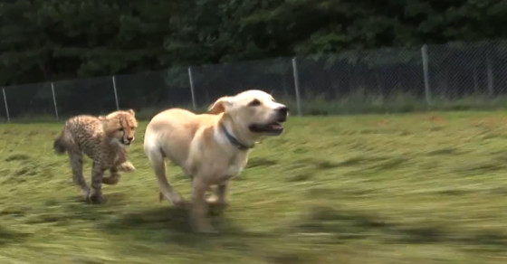 Animal Buddies: Why Zoos Pair Big Cats With Dogs